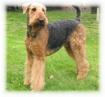 Airedale_Terrier_Dog.jpg