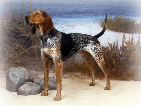 american english coonhound header