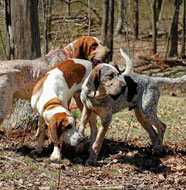 american english coonhound adults