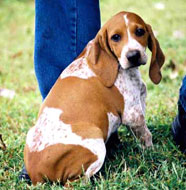 american english coonhound puppy