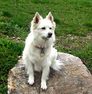 American_Eskimo_Dog_Older.jpg