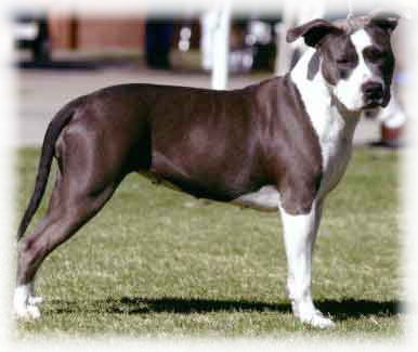 American Staffordshire_Terrier_Dog