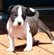 American_Staffordshire_Terrier_Puppies.jpg