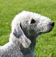 Bedlington_Terrier_Middle_Aged.jpg