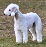 Bedlington_Terrier_Puppy.jpg