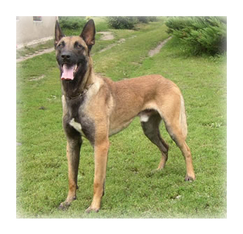 Belgian_Malinois_Dog.jpg