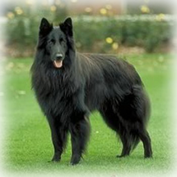 Belgian_Sheepdog_Dog.jpg