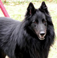 Belgian_Sheepdog_Older.jpg