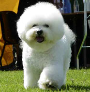 Bichon_Frise_Middle_Aged.jpg
