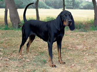 Black_And_Tan_Coonhound.jpg