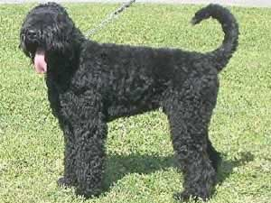 Black_Russian_Terrier.jpg