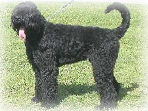Black_Russian_Terrier_Dog.jpg