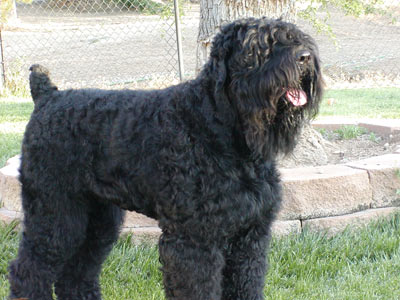Black_Russian_Terrier_Middle_Aged.jpg