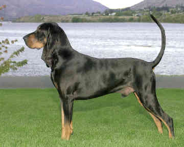 Black_and_Tan_Coonhound_Middle_Aged.jpg