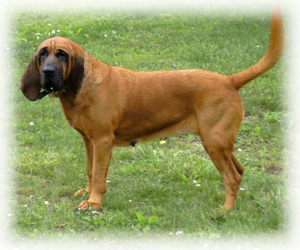 Bloodhound_Dog