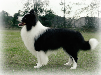 Border_Collie_Dog.jpg