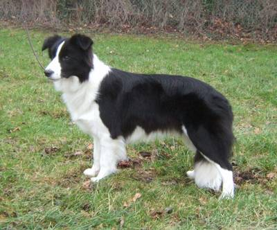 border_collie_middle_aged