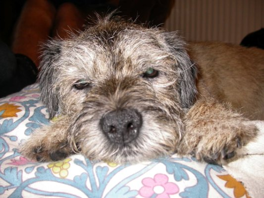 Border_Terrier_Older.jpg