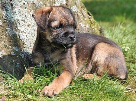 Border_Terrier_Puppy.jpg