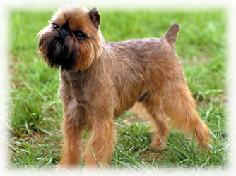 Brussels_Griffon_Dog