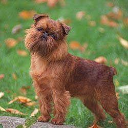 Brussels_Griffon_Middle_Aged.jpg