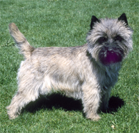 Cairn_Terrier_Middle_Aged.jpg