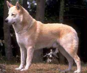 Canaan_Dog_Middle_Agee.jpg