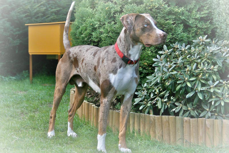 catahoula leopard hound the catahoula leopard hound is actually the ...