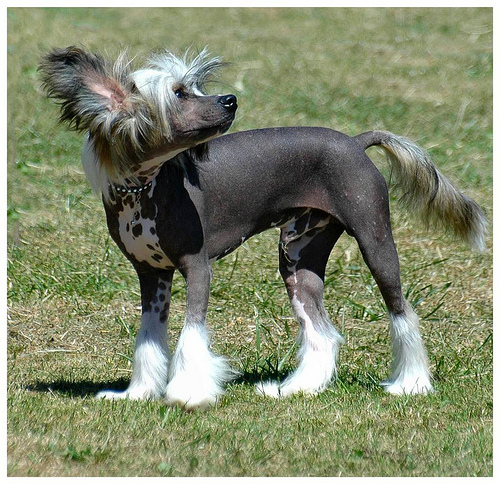 Chinese_Crested_Dog.jpg