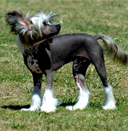 chinese_crested_dog_middle_age
