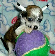 chinese_crested_dog_puppy