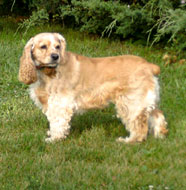 cocker spaniel middle aged