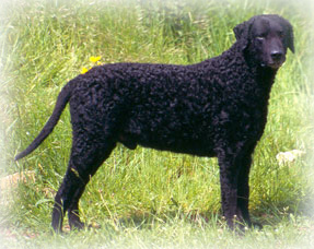 Curly-Coated_Retriever_Dog.jpg