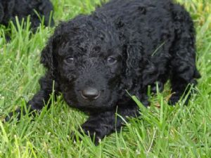 Curly-Coated_Retriever_Puppy.jpg