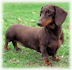 Dachshund_Dog