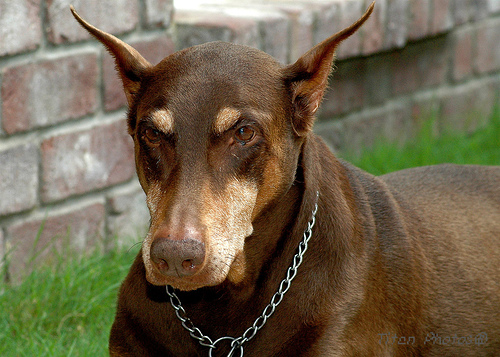 Doberman_Pinscher_Older.jpg