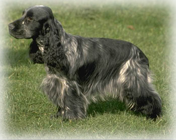 English_Cocker_Spaniel_Dog.jpg