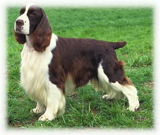 English_Springer_Spaniel_Dog