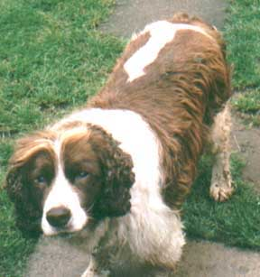 English_Springer_Spaniel_Older.JPG