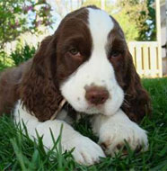 English_Springer_Spaniel_Puppy.jpg