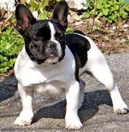 French_Bulldog_Older.jpg
