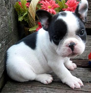 French_Bulldog_Puppy.jpg