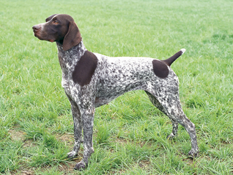 German Shorthaired Pointer.jpg