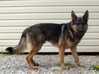 German Shepherd Middle Aged
