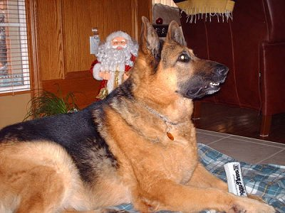 German Shepherd Older