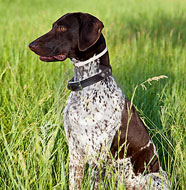 German_Shorthaired_Pointer_Middle_Aged.jpg