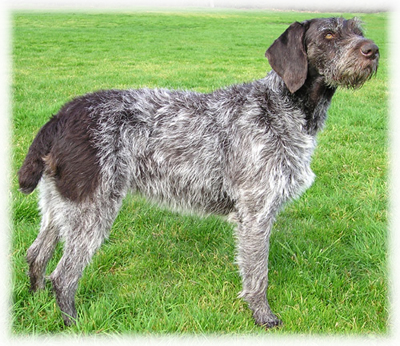 German_Wirehaired_Pointer_Dog