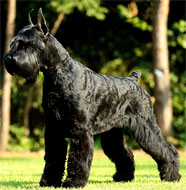 giant_schnauzer_middle_aged