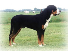 Greater_Swiss_Mountain_Dog_Dog.JPG
