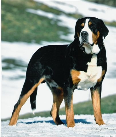 Greater_Swiss_Mountain_Dog_Middle_Aged.JPG